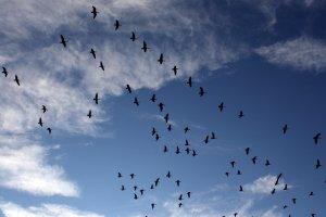 flock-of-geese